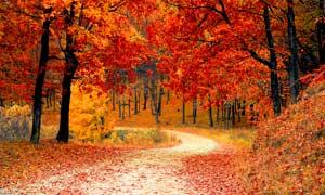 秋季公园里的枫树林摄影图片