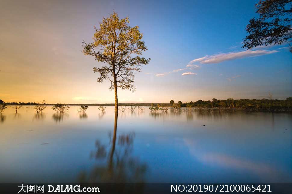 平静湖泊中的大树摄影图片
