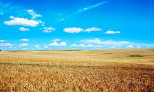 蓝天下壮观的麦田摄影图片