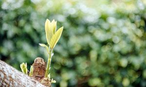 樹上新長出的新芽近景攝影圖片
