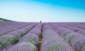 藍天下的薰衣草莊園美景攝影圖片