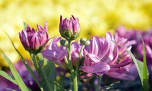 含苞待放的菊花攝影圖片