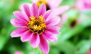 美丽的红色小花朵微距摄影图片