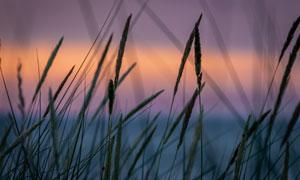 黄昏晚霞映衬下的草丛摄影高清图片