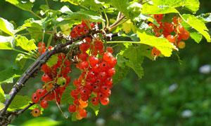 成熟了的红色醋栗特写摄影高清图片