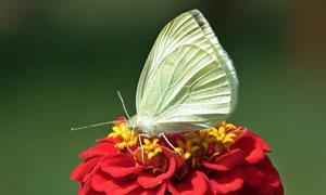 在红色花上的蝴蝶特写摄影高清图片