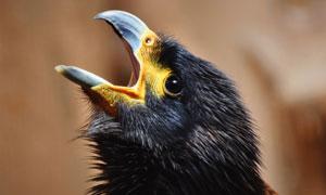 在嗷嗷待哺的幼鸟特写摄影高清图片