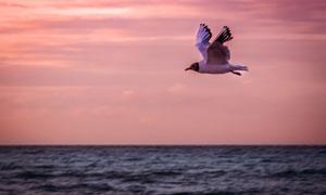 辽阔海面上翱翔的海鸥摄影高清图片