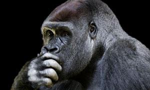 捂着嘴巴的大猩猩特写摄影高清图片