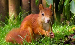 在草丛之中觅食的松鼠摄影高清图片