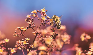 花卉枝头上作业的蜜蜂树叶高清图片