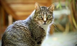 扭头看的可爱猫咪特写摄影高清图片