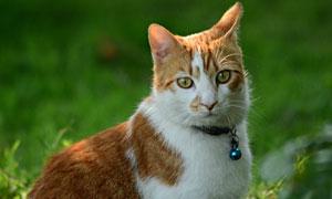 脖子上挂着铃铛的猫咪摄影高清图片