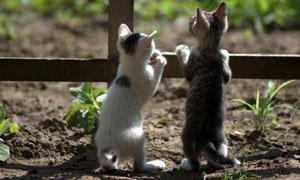 扒着栅栏在往外看的两只猫高清图片