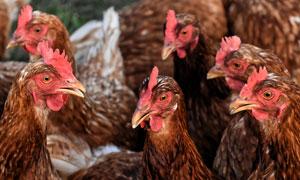 养殖场里一群母鸡特写摄影高清图片