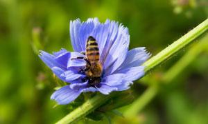 在埋头辛勤采蜜的蜜蜂摄影高清图片