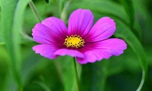 青草丛中一朵鲜花特写摄影高清图片