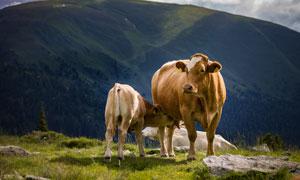 山间牧场上吃奶的牛犊摄影高清图片