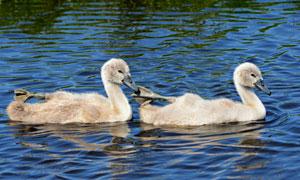 在河里游水的两只小鸭摄影高清图片