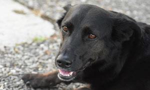 趴地上的一只黑色狗狗特写高清图片