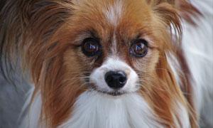 毛发较长的小型犬特写摄影高清图片