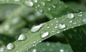 绿叶之上欲滑落的晶莹水滴高清图片