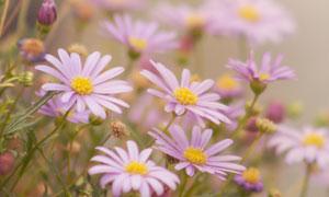 紫色雏菊花草特写逆光摄影高清图片