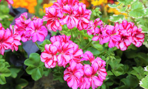 田地里的鲜艳花卉植物摄影高清图片