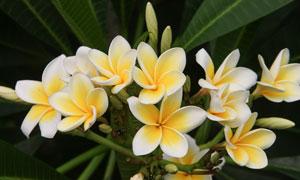 绽放的素馨花植物特写摄影高清图片