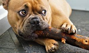 嘴啃着木头的狗狗特写摄影高清图片