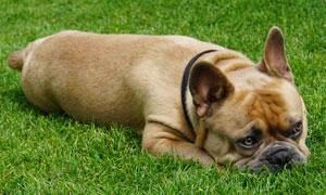 趴在青草地上的斗牛犬摄影高清图片