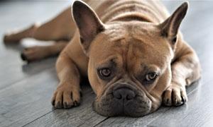 趴在木地板上的宠物狗摄影高清图片