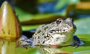 池塘荷叶上的青蛙特写摄影高清图片