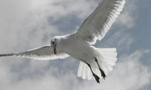 展翅翱翔于空中的海鸥摄影高清图片