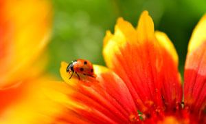 红色花朵上的一只瓢虫摄影高清图片
