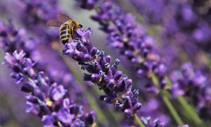 招来蜜蜂的薰衣草特写摄影高清图片