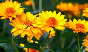 花期绽放的金黄色花朵摄影高清图片