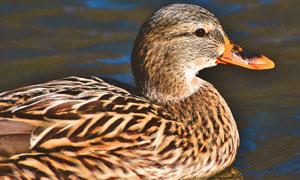 在游水的鸭子侧面特写摄影高清图片