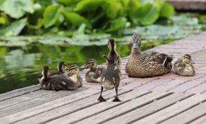 带着一群小鸭休息的鸭妈妈高清图片