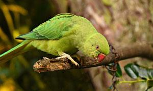 绿色羽毛鹦鹉近景特写摄影高清图片