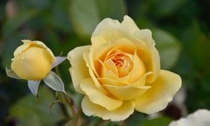绽放的黄色玫瑰花特写摄影高清图片
