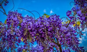 藤蔓树枝上的紫色花朵摄影高清图片