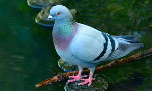 水边石头上的鸽子特写摄影高清图片