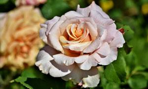 绽放的美丽玫瑰花特写摄影高清图片