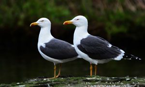 站在水边的两只小海鸥摄影高清图片