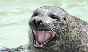 水里胖乎乎的海豹特写摄影高清图片