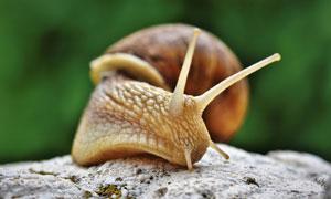 岩石上慢慢爬行的蜗牛摄影高清图片