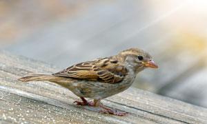 一只在外觅食的小麻雀摄影高清图片