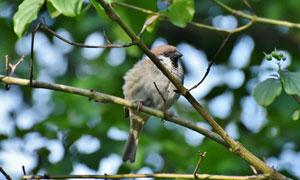 树枝上的麻雀小鸟特写摄影高清图片