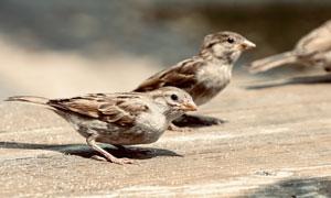 在木板上啄食的小麻雀摄影高清图片